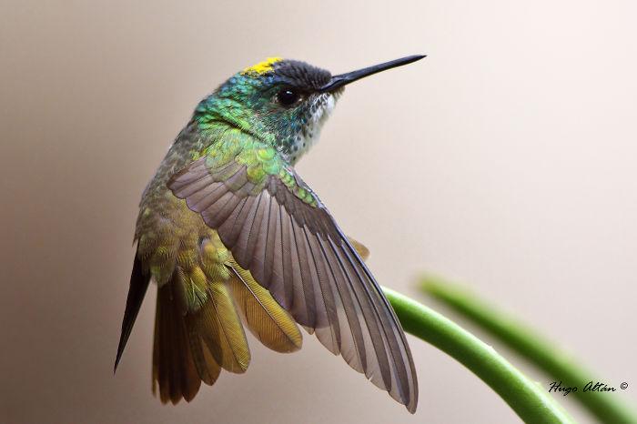 2014_07_05_21748_DSC1908_Azure-Crowned-Hummingbird__700
