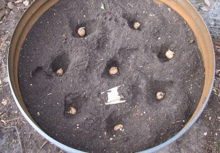 como plantar batata em latão e balde