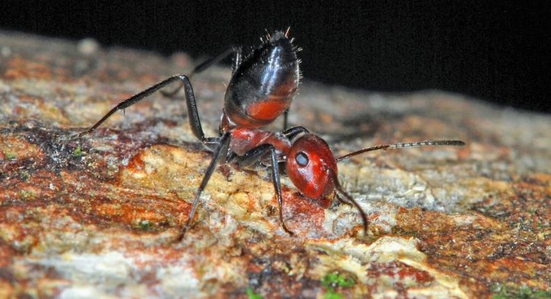 Cientistas descobrem 'Formigas Explosivas' em Bornéu